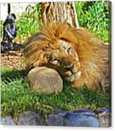 Lion In Repose Canvas Print