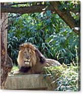 Lion King At Washington Zoo Canvas Print