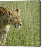 lion Masai Mara Kenya Canvas Print