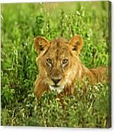 Lion, Ngorongoro Conservation Area Canvas Print