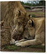 Lion Smooch Canvas Print