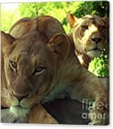 Lioness-00104 Canvas Print
