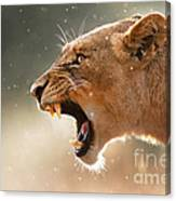Lioness Displaying Dangerous Teeth In A Rainstorm Canvas Print