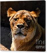 Lioness Hey Are You Looking At Me Canvas Print