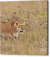Lioness, Kenya Canvas Print