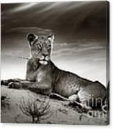 Lioness On Desert Dune Canvas Print