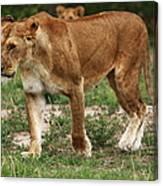 Lioness On The Masai Mara Canvas Print