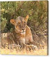 Lioness  Panthera Leo Resting Canvas Print