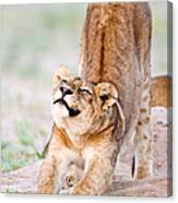 Lioness Panthera Leo Stretching Canvas Print