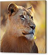 Lioness Portrait Lying In Grass Canvas Print
