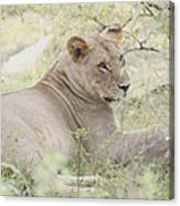 Lioness Relaxing Canvas Print
