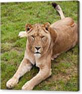 Lioness Sitting In Grass Canvas Print