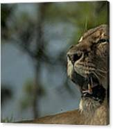 Lioness Voicing Opinion Canvas Print