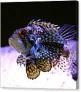 Lionfish Dendriochrius Barberi Canvas Print