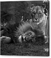 Lions Me And My Guy Canvas Print