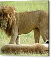 Lions On The Masai Mara Canvas Print