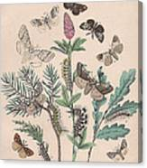 Liparidae - Notodonitdae Canvas Print
