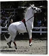 Lipizzaner Stallion Jumping Canvas Print