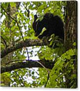 Little Bear Cub In Tree Cades Cove Canvas Print