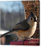 Little Gray Crested Titmouse Bird Ready For Lunch Canvas Print