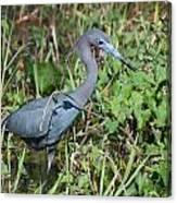 Little Blue Heron 2 Canvas Print