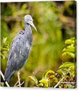 Little Blue Heron Canvas Print