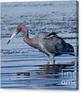 Little Blue Heron Egretta Caerulea Canvas Print
