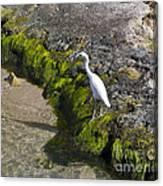 Little Blue Heron - Egretta Caerulea - White Morph Canvas Print