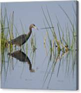 Little Blue Heron Wading Texas Canvas Print