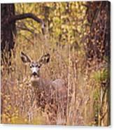 Little Buck Canvas Print