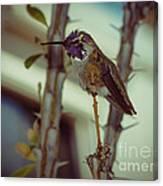 Little Costa's Hummingbird Canvas Print