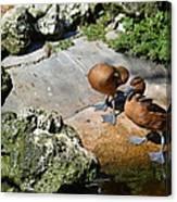 Little Ducks Canvas Print