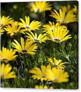 Little Field Of Yellow Daises Canvas Print