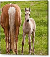 Little Foal Canvas Print