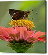 Little Glassywing Skipper Butterfly Canvas Print