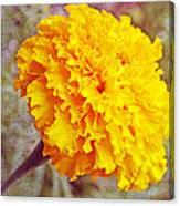 Little Golden  Marigold Canvas Print