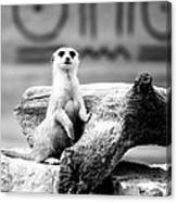 Little Meerkat Canvas Print