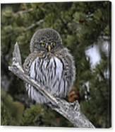 Little One - Northern Pygmy Owl Canvas Print