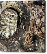 Little Owl 4 Canvas Print