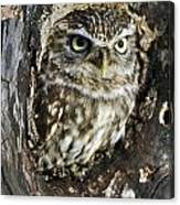 Little Owl 6 Canvas Print