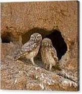 Little Owl Athene Noctua  Canvas Print