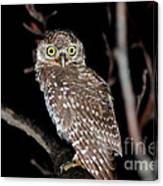 Little Owl Or Spotted Owlet Canvas Print