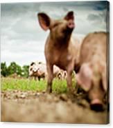 Little Pigs Canvas Print