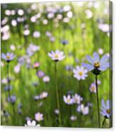Little Pink Daisies  Canvas Print