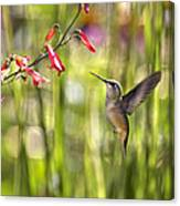 Little Queenie-calliope Hummer Canvas Print