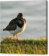Little Turnstone Canvas Print