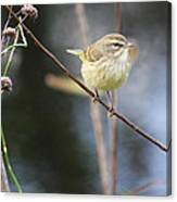 Little Yellow Bird In The Glades Canvas Print