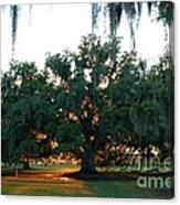Live Oak Bathed In Evening Light Canvas Print