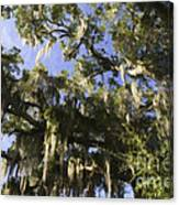 Live Oak Dripping With Spanish Moss Canvas Print