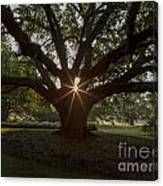 Live Oak With Early Morning Light Canvas Print